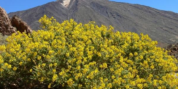 Der Teide Ende Mai
