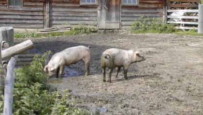 Glückliche Schweine auf der Unterenwandalm