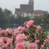 Rosen im Schaugarten am Tiefwarensee vor der Silhouette Warens.