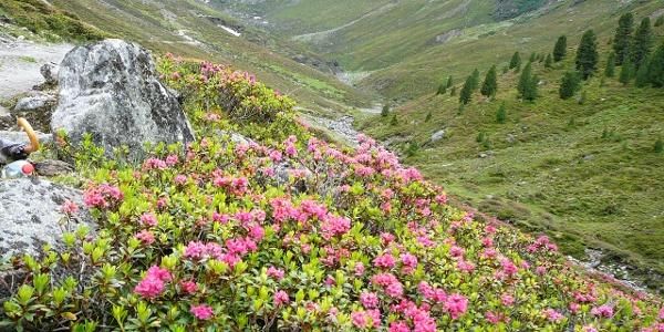 Die Alpenrosen im Gleirschtal.