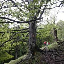 Große alte Bäume zieren den Weg.