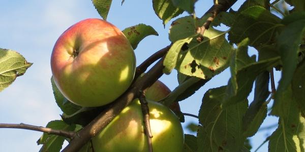 Um Affalterthal befinden sich viele Obstbäume.