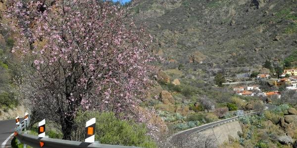 Bereits im Jänner blühen die Mandelbäume - Fahrt nach Chira