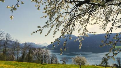 Cerisiers en fleurs près d'Unterägeri