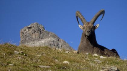 Majestic ibexes in the Allgaeu Alps