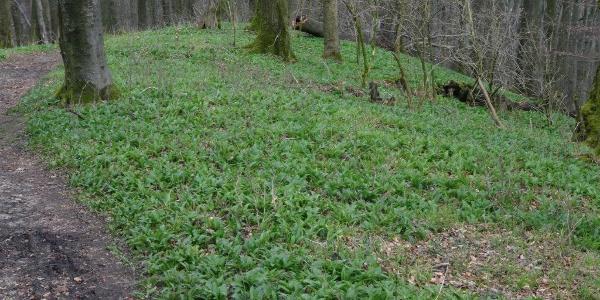 Der Wald wird wieder grün