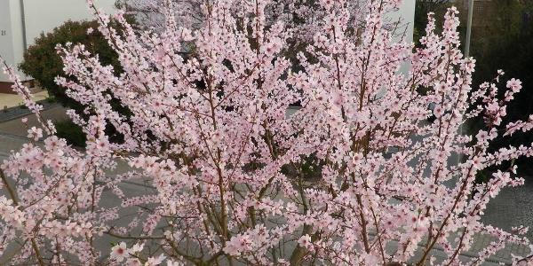 Mandelbaum vor dem Haus