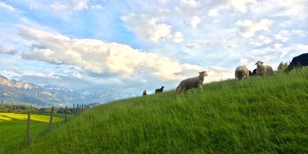 Schafe auf der Wiese bei Schweineberg