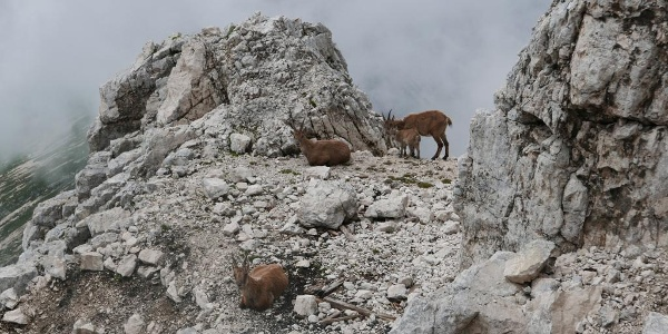 Steinböcke am Aufstiegsweg zum Montasch