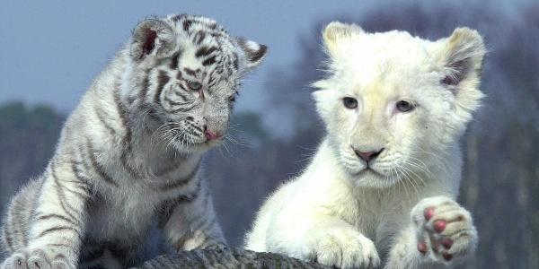 Tiger- und Löwenbaby
