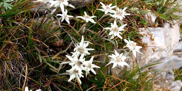 Edelweissbüschel am Südgrat um 2200m