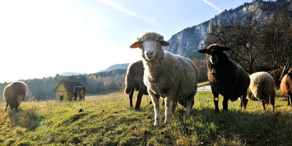 Schafe vor der Hohen Wand