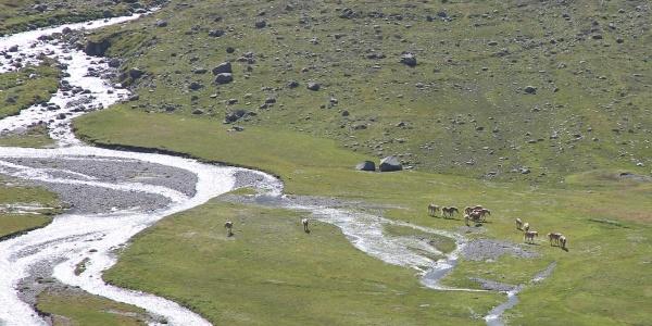 Im Tal lebende Wildpferde