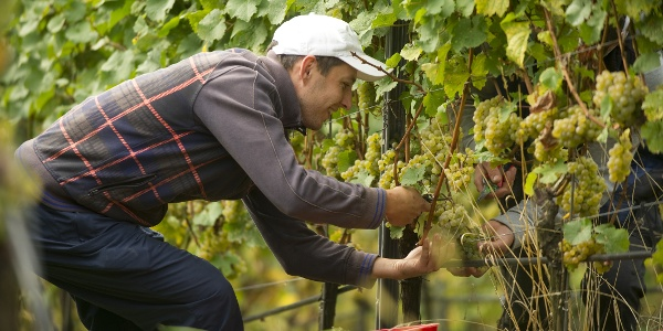 Weinlese in der Weinlage bei Schloss Eberstein