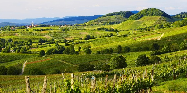 Liebliche Weinberge sieht man im Markgräflerland