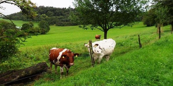 Kühe am weiden