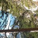 Der Schneeberg... durch die Föhren am Wagnersteig