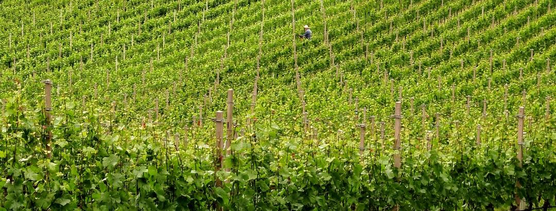 Weinreben in Neumarkt