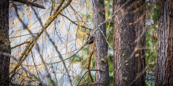 Voyez là - caché dans les arbres un écureuil