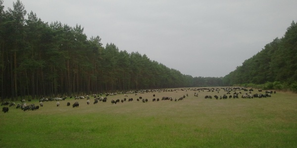 Heidschnucken auf einem Feld zwischen Neuenkirchen und Falshorn