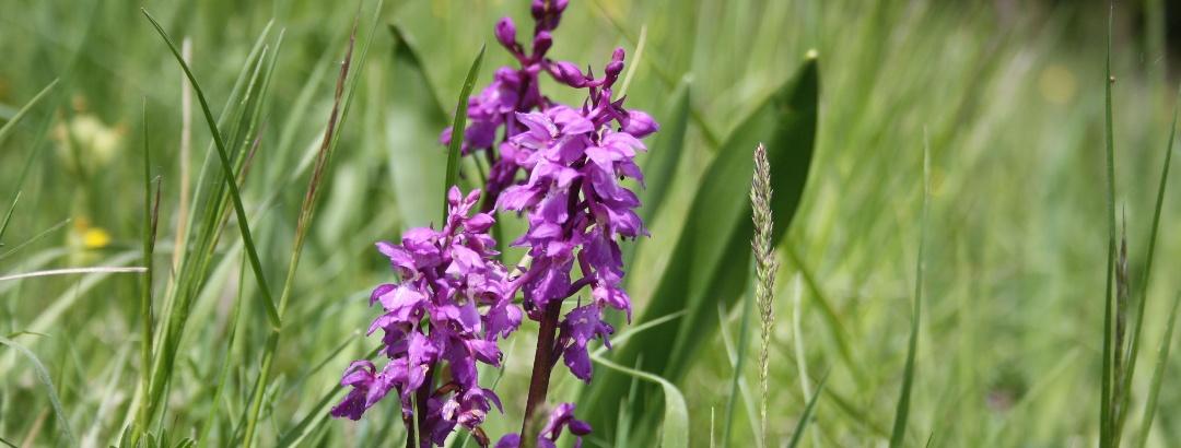 Orchideen im Hohenloher Jagsttal, Pfad der Stille Schöntal