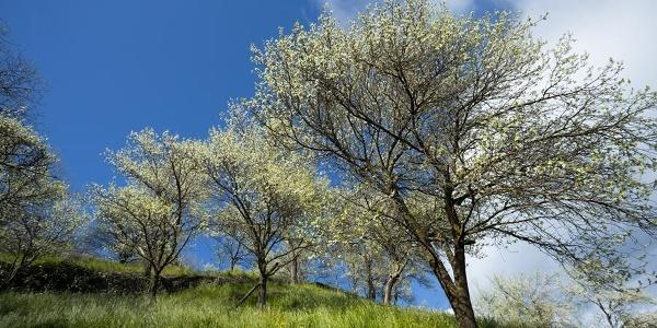 Zwetschkenbäume