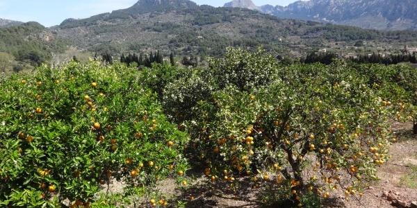 unendlich viele Orangen- und Zitronenbäume