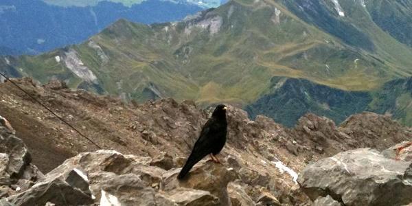 Am Gipfel der Schesaplana trifft man oft auf Bergdohlen