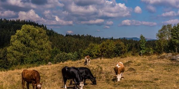 Schwarzwälder Kühe