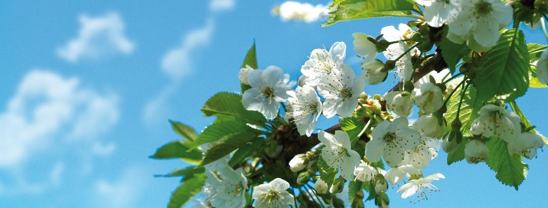 Kirschblütenfest in der Rühler Schweiz