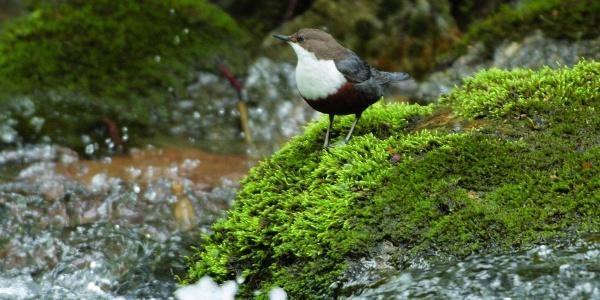 Ein tierische Zuschauer am Wegesrand: Die Wasseramsel