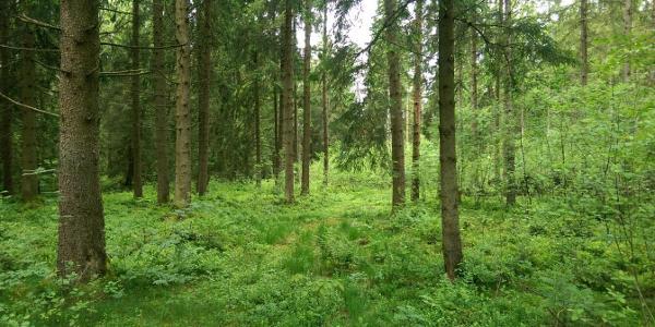 Durch den Wald am Hopfensee