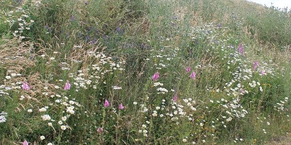 Sommerblumen Wiese an der Waldroute