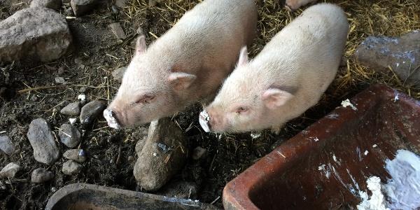 Minischweine auf der Fallhausalm