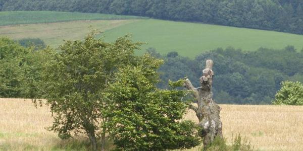 Baumdenkmal