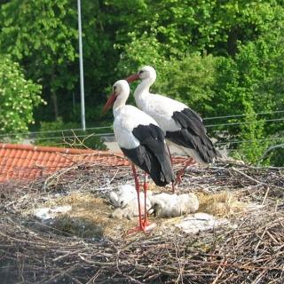 Störche im Nest in Pfaffenhausen