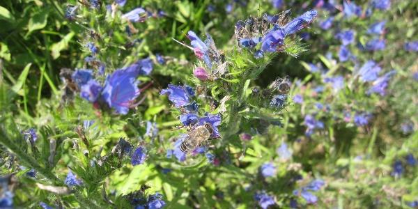 Blumenwiese bei der Stauferhütte