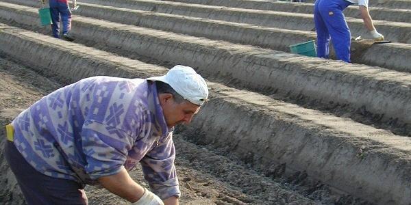Arbeiter beim spargelstechen