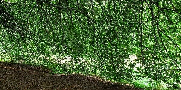 Auffällig das gemeinsame einschichtige Blätterdach