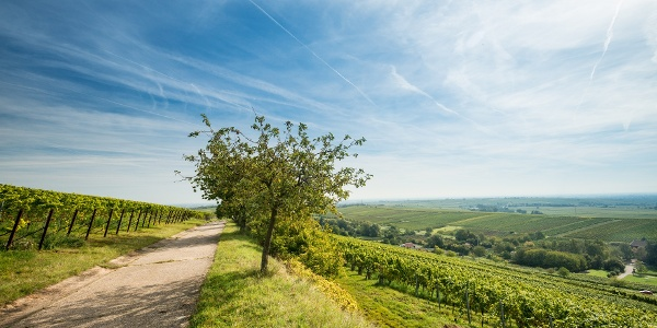Blick über die Weinberge bei Leinsweiler