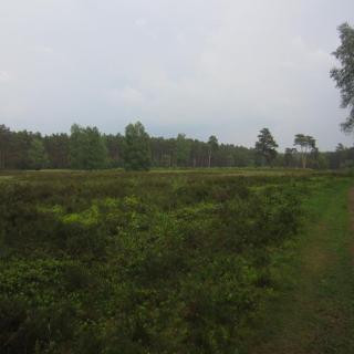 Heide nahe Winsen (Mai 2016)
