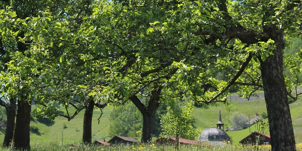 Obstbäume in Disla
