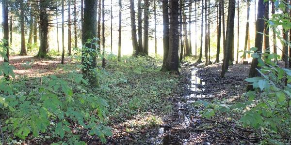 Blick in den Wald vom Wanderweg Wiesleutener Moos