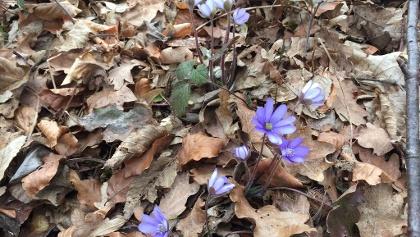 Erste Frühlingsgrüße sind am Waldboden zu finden.