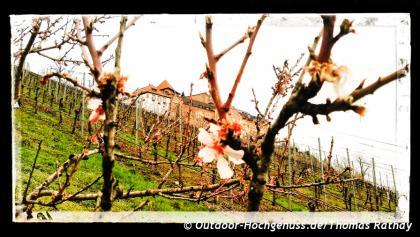 Erste zarte Blüten vor dem Schloss EBerstein