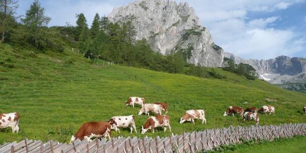 Kühe auf der Mitterfeldalm