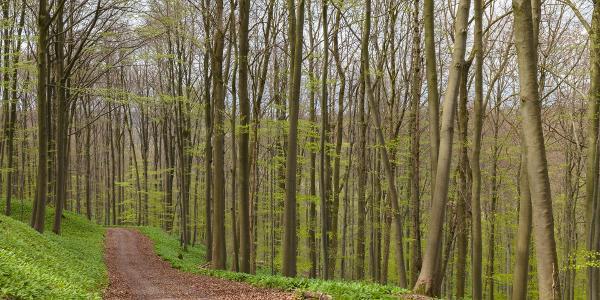 Weg im Bärlauchwald