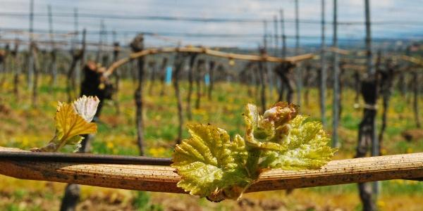 In den Weingärten bei Weidling