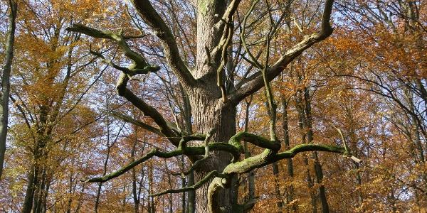 urige Buchenwälder