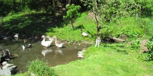 Enten und Gänse im Teich